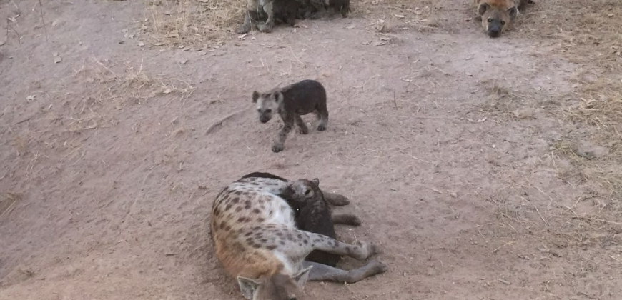 Hyena on the farm close to the camp